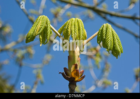 Young leaves and an opening sticky bud on a horse chestnut, Aesculus hippocastanum, tree in spring - Stock Photo