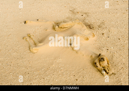 A dry long dead camel calf carcass half buried by sand in the desert, Abu Dhabi - Stock Photo