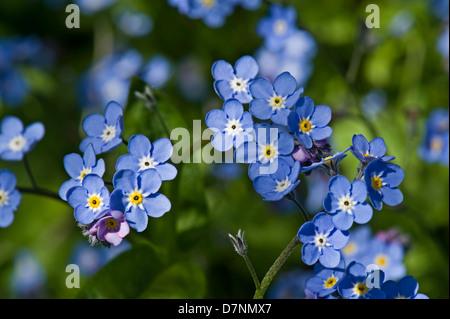 Wood forget me not, Myosotis sylvatica, blue flowered spring plant - Stock Photo