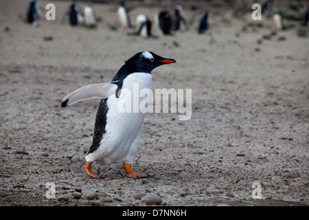 Eselspinguine;gentoo penguin;pygoscelis papua - Stock Photo