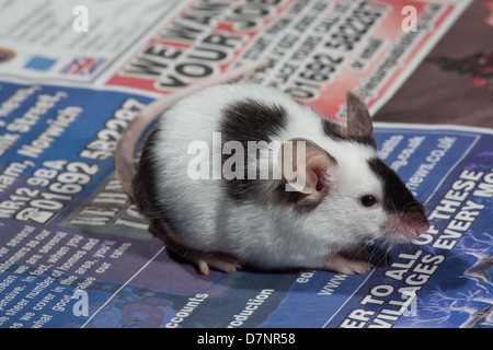 Domestic Pet Black and White or Pied Mouse (Mus musculus). - Stock Photo