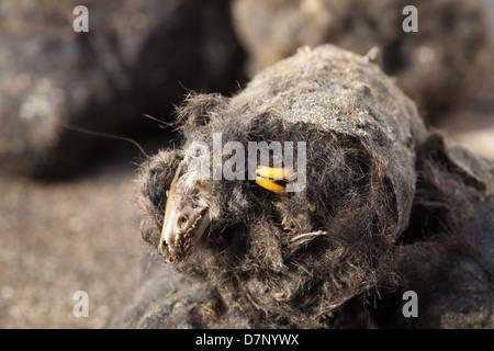 Pellet regurgitated by a Barn Owl (Tyto alba). Pellet broken in half to reveal skull of a shrew Sorex sp.  and Rodent - Stock Photo