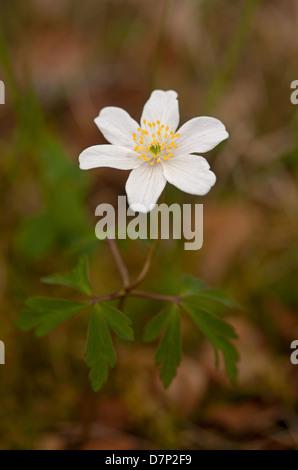 Anemone nemorosa a woodland colonial wild flower.  SCO 9083 - Stock Photo