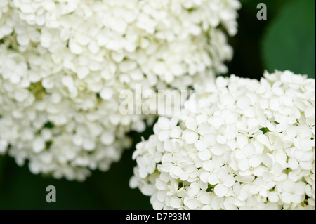 HYDRANGEA ARBORESCENS 'ANNABELLE' FLOWERS; CLOSE UP. - Stock Photo