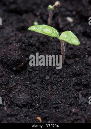Small plant in dark earth (macro shot) - Stock Photo
