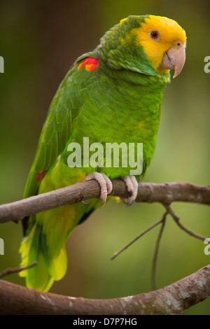 A yellow-headed amazon is seen at Alligator farm Zoological Park in St. Augustine, Florida - Stock Photo