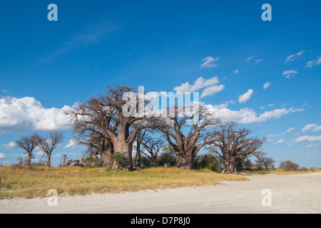 Baines Baobab trees on the edge of a Salt Pan in Africa, tree of life - Stock Photo