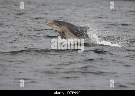 Bottlenose dolphin calf (Tursiops truncatus) breaching in the Moray Firth. Scotland. - Stock Photo