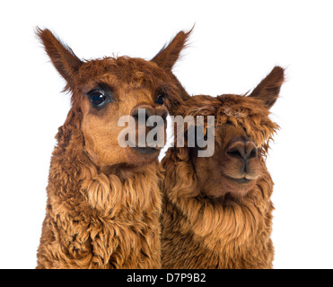 Close-up of two Alpacas, Vicugna pacos, looking at the camera against white background - Stock Photo