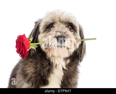 Close-up of a Crossbreed dog, 4 years old, holding red rose against white background - Stock Photo