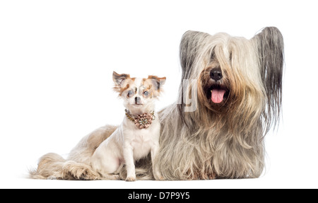 Chihuahua puppy, 6 months old, and Skye Terrier, 5 years old, sitting against white background - Stock Photo