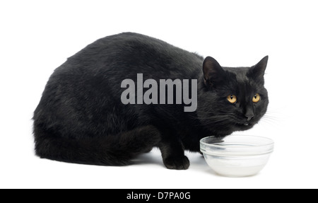 Black cat looking up from milk against white background - Stock Photo