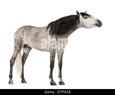 Andalusian stretching, 7 years old, also known as the Pure Spanish Horse or PRE, against white background - Stock Photo
