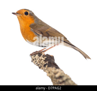 European Robin, Erithacus rubecula, perched on a branch against white background - Stock Photo