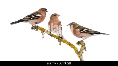 Three Common Chaffinches, Fringilla coelebs, perched on a branch against white background - Stock Photo