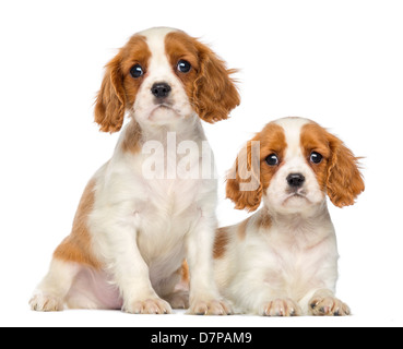 Two Cavalier King Charles Puppies, 2 months old, sitting and lying against white background - Stock Photo