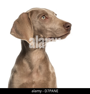 Close-up of a Weimaraner puppy profile, 2.5 months old, in front of white background - Stock Photo