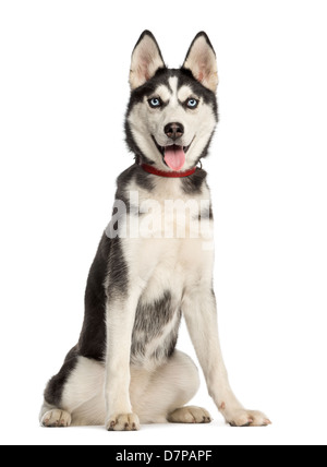 Siberian Husky puppy, 6 months old, sitting against white background - Stock Photo