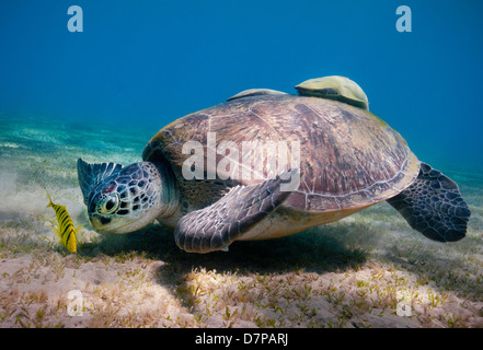 A Green Turtle (Chelonia Mydas) feeds on the sea grass in the sheltered bay at Marsa Abu Dabab in the Southern Egyptian - Stock Photo