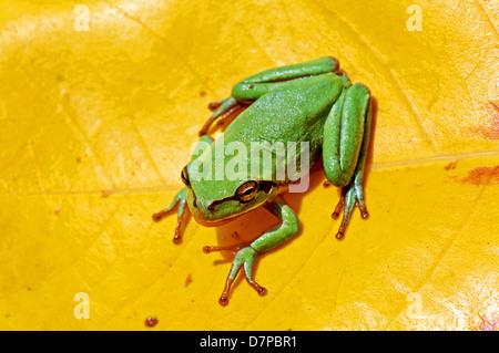 European tree frog on yellow leaf - Stock Photo
