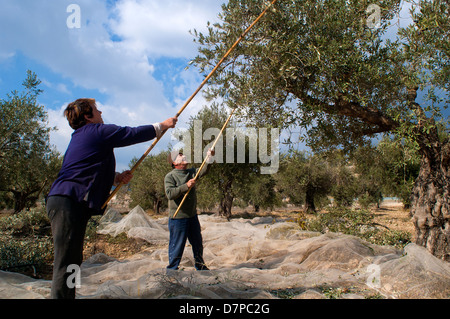 Traditional Olive Harvesting in the Galilee, Israel - Stock Photo