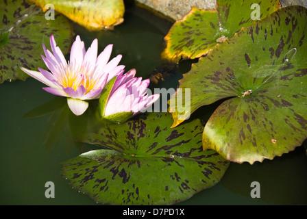 Lotusblueten lotus flowers, lotus flower (Nelumbo), Chiang Mai - Stock Photo