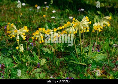 Cowslip (Primula veris) - collection of a group, Echte Schlüsselblume (Primula veris) - Ansammlung einer Gruppe - Stock Photo