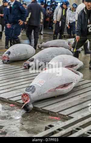 Japanese buyers inspect large frozen tuna fish on floor of warehouse in the Tsukiji fish market, Tokyo, Japan - Stock Photo
