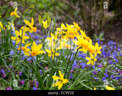 Bright Spring display of daffodils and Pulmonaria, Spring 2013 - Stock Photo