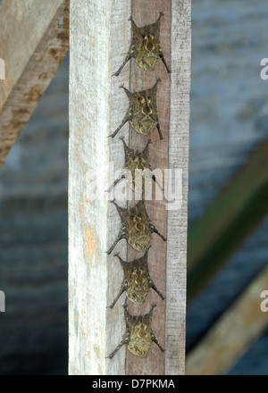 Proboscis Bats (Rhynchonycteris naso) roosting in Costa Rica. - Stock Photo