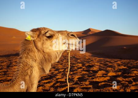 Erg Chebbi: Camel Portrait - Stock Photo