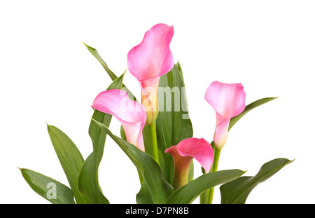 Four flowers of a pink calla lily cultivar (Zantedeschia species) and healthy green leaves isolated against a white - Stock Photo