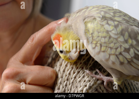 Pet cockatiel bird with lowered head on woman's shoulder asking for a preening massage on the back of her head - Stock Photo