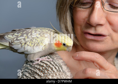 Relaxed female pet pearl cockatiel bird on woman's shoulder looking at her finger - Stock Photo