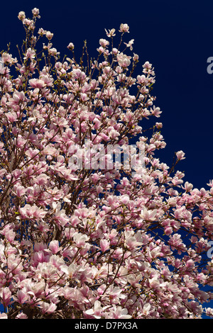 Pink and white flowers on a Magnolia tree in Spring against a blue sky Toronto Canada - Stock Photo
