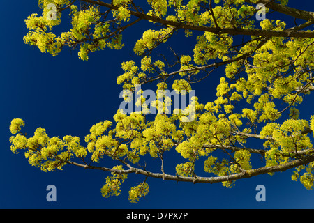 Yellow green flower clusters on branches of a Norway Maple tree in Spring in Toronto Canada against a clear blue - Stock Photo