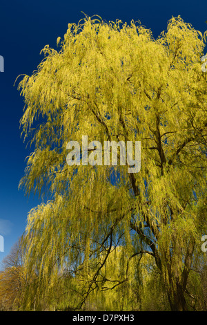 Yellow Weeping Willow tree in spring in a Toronto park against a blue sky - Stock Photo