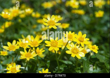deciduous woodland floor carpet of low growing lesser celandine close up in bright sunshine bright yellow petals - Stock Photo