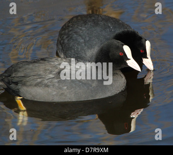 Detailed close-up of a  pair of  Eurasian Coots (Fulica atra) bonding while swimming in a lake - Stock Photo