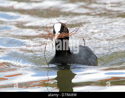 Detailed close-up of a Eurasian Coot (Fulica atra) collecting nesting material in spring - Stock Photo