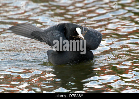 Detailed close-up of a Eurasian Coot (Fulica atra) collecting nesting material in spring with spread wings - Stock Photo
