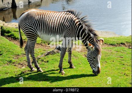 Grevy's Zebra (equus grevyi) in Edinburgh Zoo, Scotland - Stock Photo