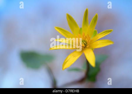 Lesser celandine early spring - Stock Photo