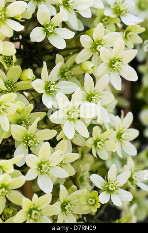 Close up of clematis pixie flowers stock photo royalty free image evergreen spring flowering clematis mightylinksfo Gallery