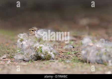 Female Chaffinch, Fringilla coelebs gathers nest material. Spring. Uk - Stock Photo