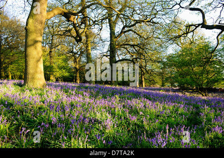 Underwood,Notts.UK. 13TH May 2013.Evening light cast shadows over a carpet of Bluebells in an English Oak wood.Misk - Stock Photo