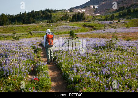 WA, Goat Rocks Wilderness, Hiker on Pacific Crest Trail through wildflower meadow (MR) - Stock Photo