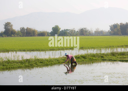 Woman working in paddy fields near Kengtung (Kyaingtong), Shan State, Burma - Stock Photo