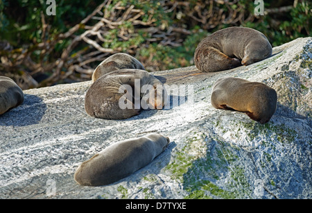 Fur seals, Milford Sound, Fiordland National Park, UNESCO World Heritage Site, Southland, South Island, New Zealand - Stock Photo