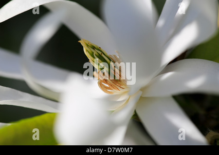 Royal Star Magnolia flower close-up photo, May 2013 - Stock Photo